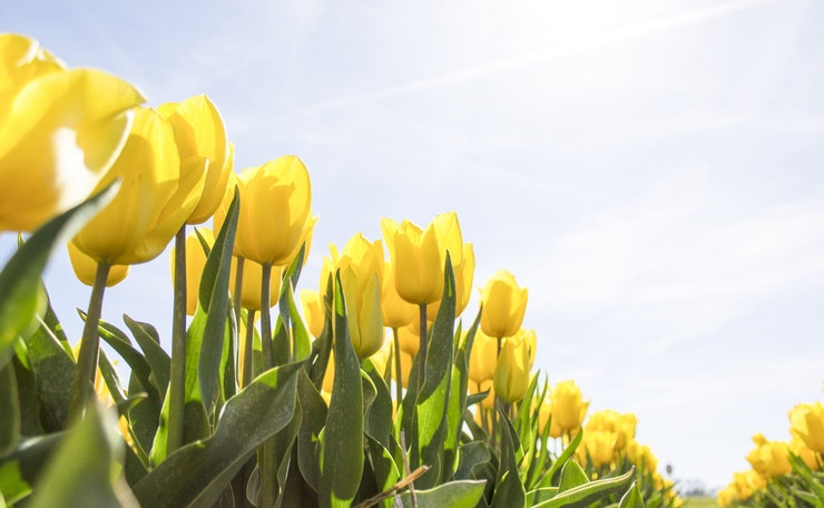 Close up of field of tulips